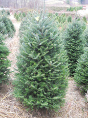 4 - 5 ft Fresh-Cut Premium-Grade Fraser Fir Christmas Tree