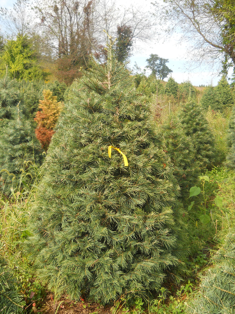 5 - 6 ft Fresh-Cut Premium-Grade Fraser Fir Christmas Tree