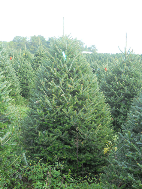 7 8 Ft Fraser Fir Christmas Tree Christmas Tree Delivery
