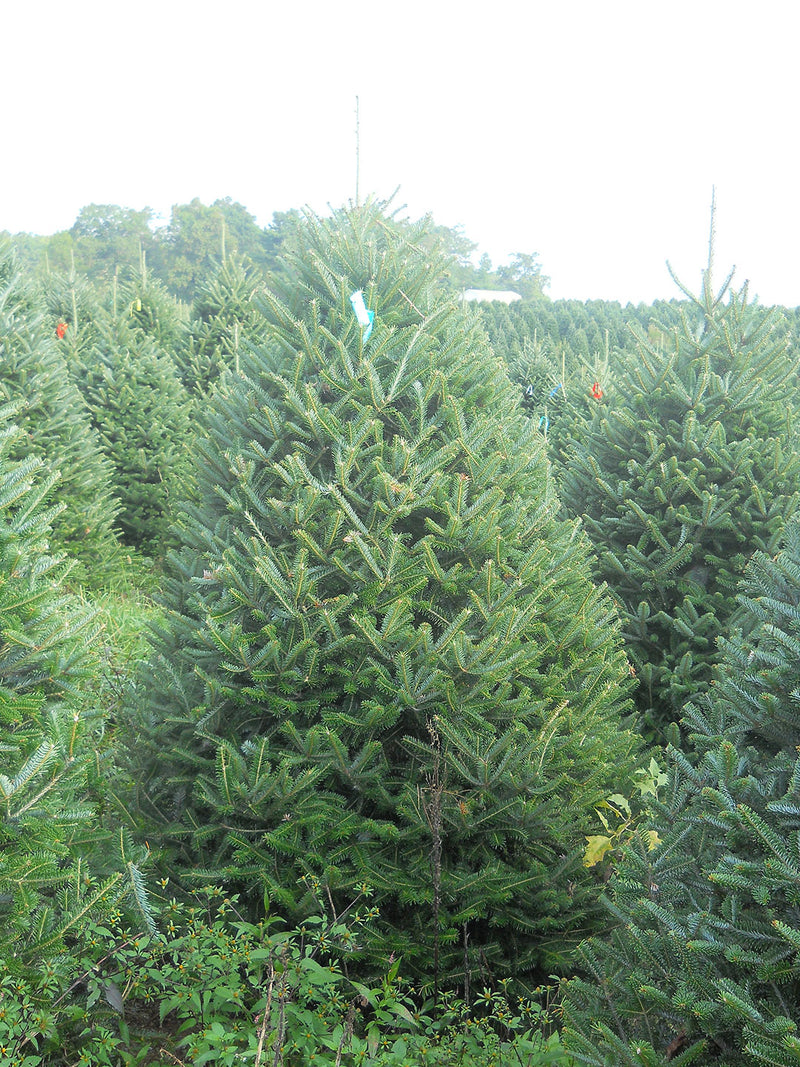 7 - 8 ft Fresh-Cut Premium-Grade Fraser Fir Christmas Tree