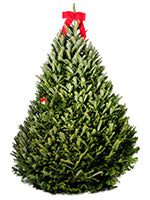 Fresh-Cut Premium-Grade Fraser Fir Christmas Tree