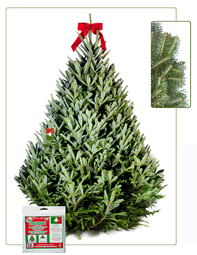 7-8 ft Fraser Fir Christmas Tree | Christmas Tree Delivery ...