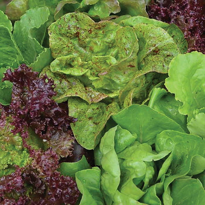 Lettuce, Seed Savers Mix