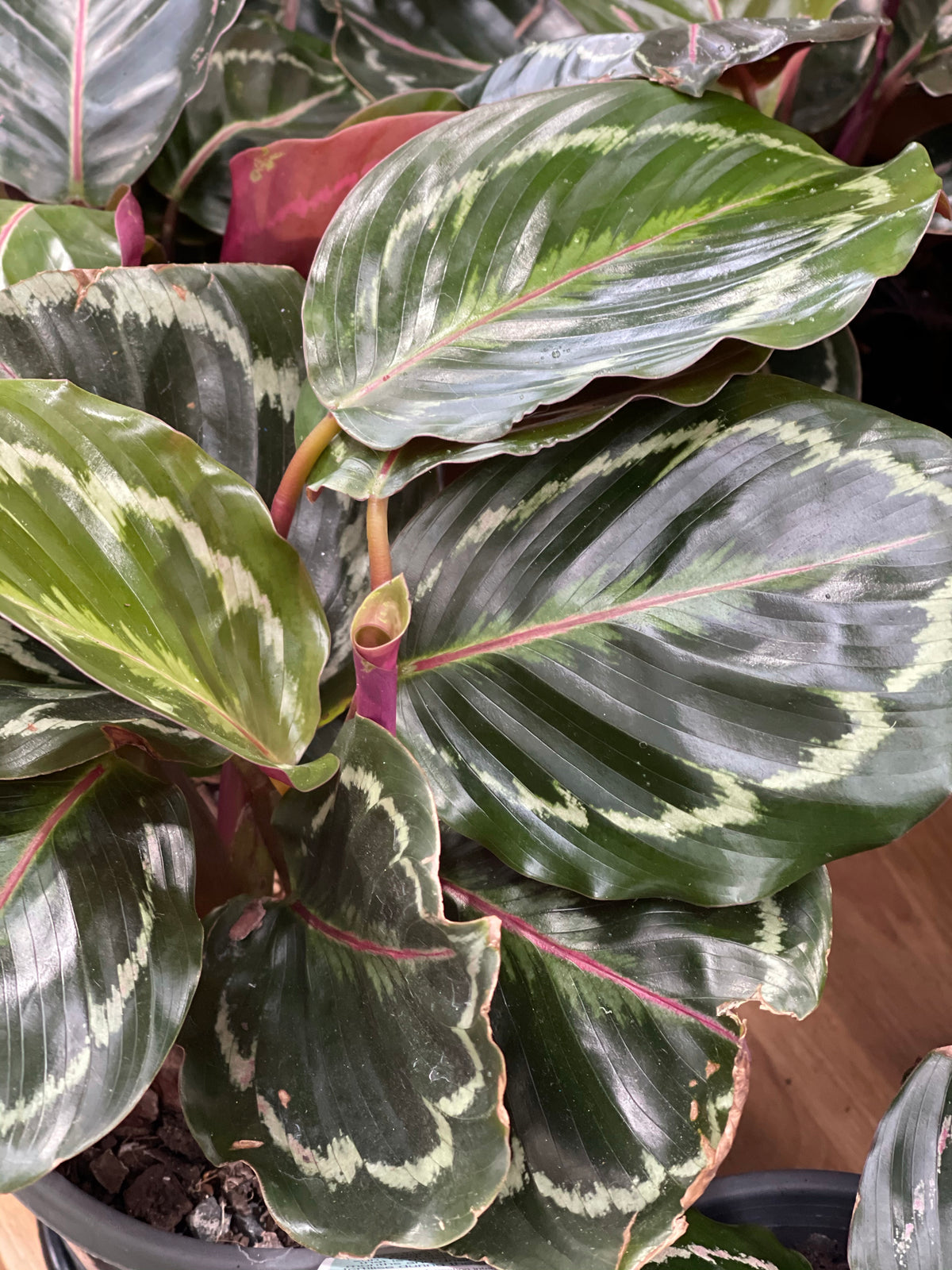 Calathea Medallion 130mm pot Indoor Plant  (Pick up/delivery)