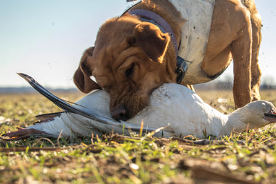 Are You Ready For A Gun Dog? Relevance and an Open-Mind Should Factor Heavily Into Your Investment.