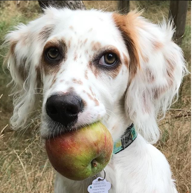 An apple a day keeps the vet away.