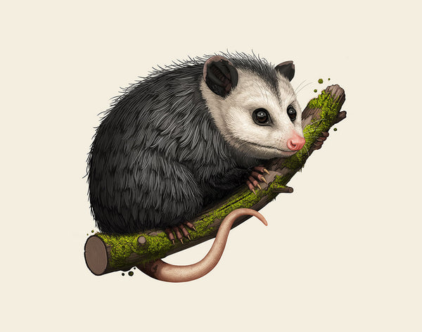 "Mike Mitchell ""Virginia Opossum"" Framed Print"