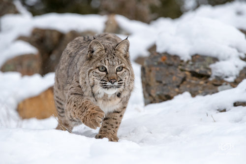 Bobcat on a mission...