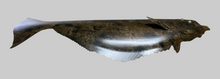 Load image into Gallery viewer, Halibut Sculpture, Metal Halibut Wall Sculpture