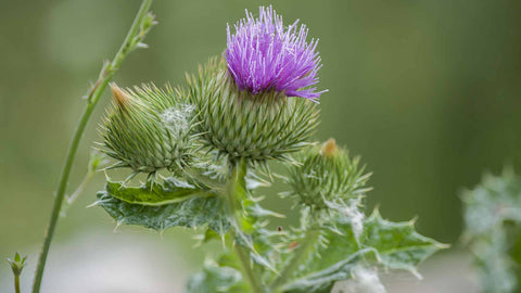 milk thistle for good liver health