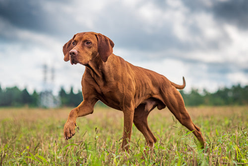 5 Hemp Oil Uses for Dogs