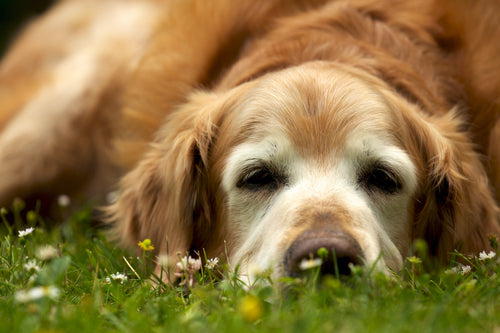 Natural Anti-Inflammatory for Dogs: The Top 9 Options for Pain-Relief