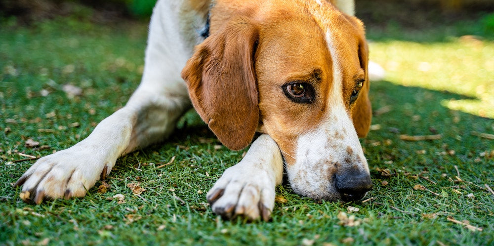 My Dog is Vomiting Yellow: What Should I Do? | PetHonesty