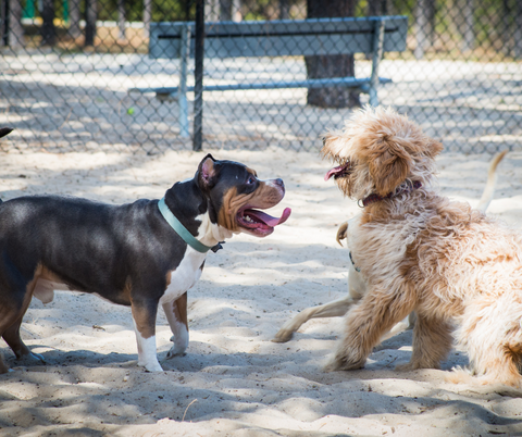 Two dogs playing together at a dog park