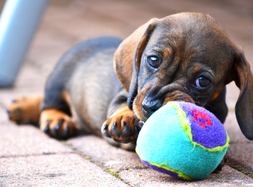 Cute puppy with a ball