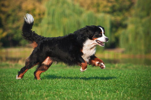 Hip Dysplasia Treatment for Dogs | PetHonesty