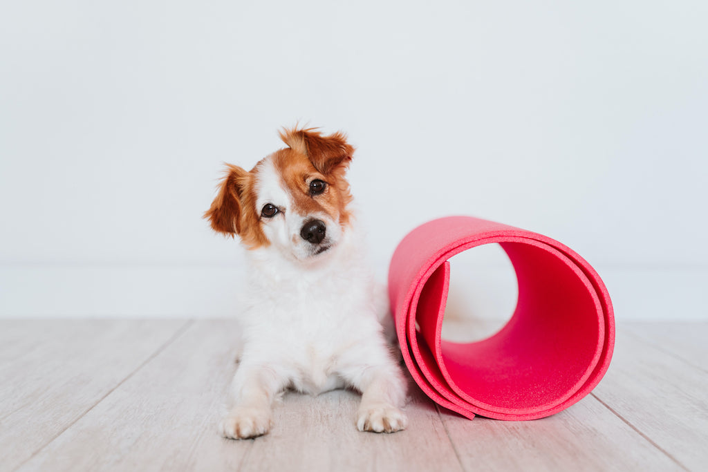 Dog asthma: a small dog lies next to an exercise tunnel
