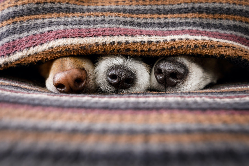 Dog runny nose: Three dog noses peek out from under a blanket