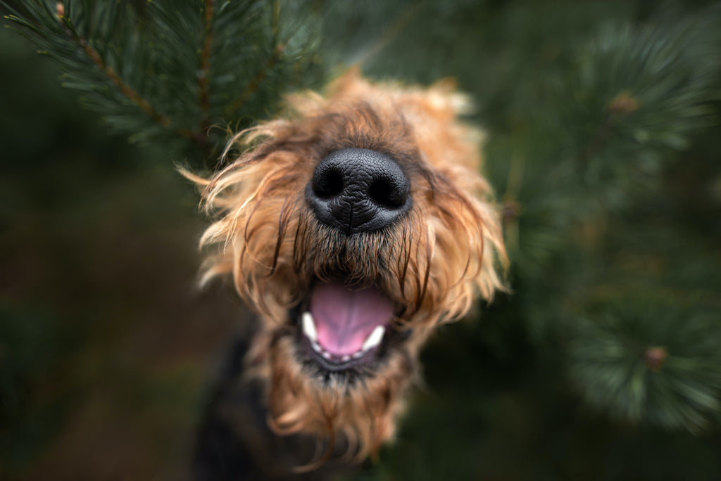 Dog runny nose: A dog pokes his nose through the branches of a fir tree