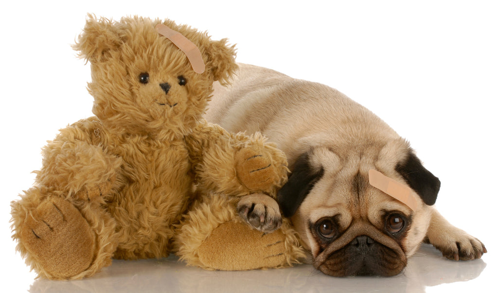 Dog wheezing: A pug with a bandaid cuddles with a teddy bear with a bandaid