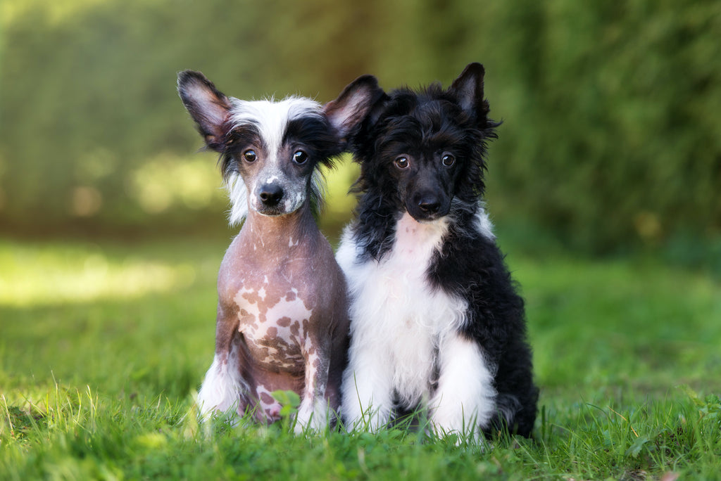 Dog losing hair: A hairless Chinese Crested dog next to a Powderpuff Chinese Crested dog