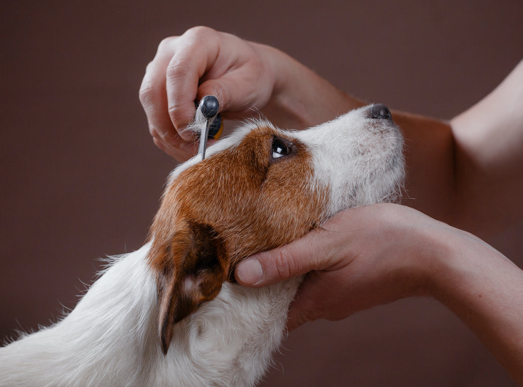 Dog losing hair: a woman flea combs her Jack Russel terrier