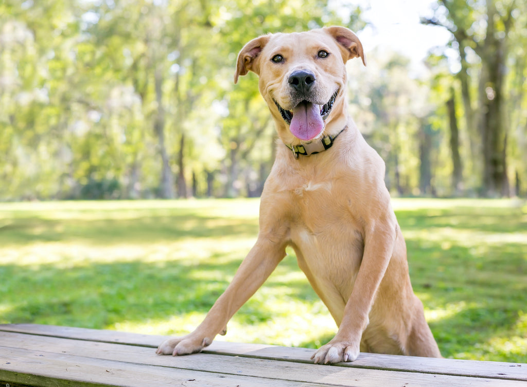 Dog ringworm: a large dog stands with his front legs up on a picnic table
