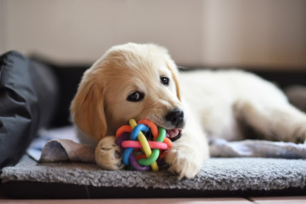 do dogs have baby teeth: Golden retriever puppy playing with toy