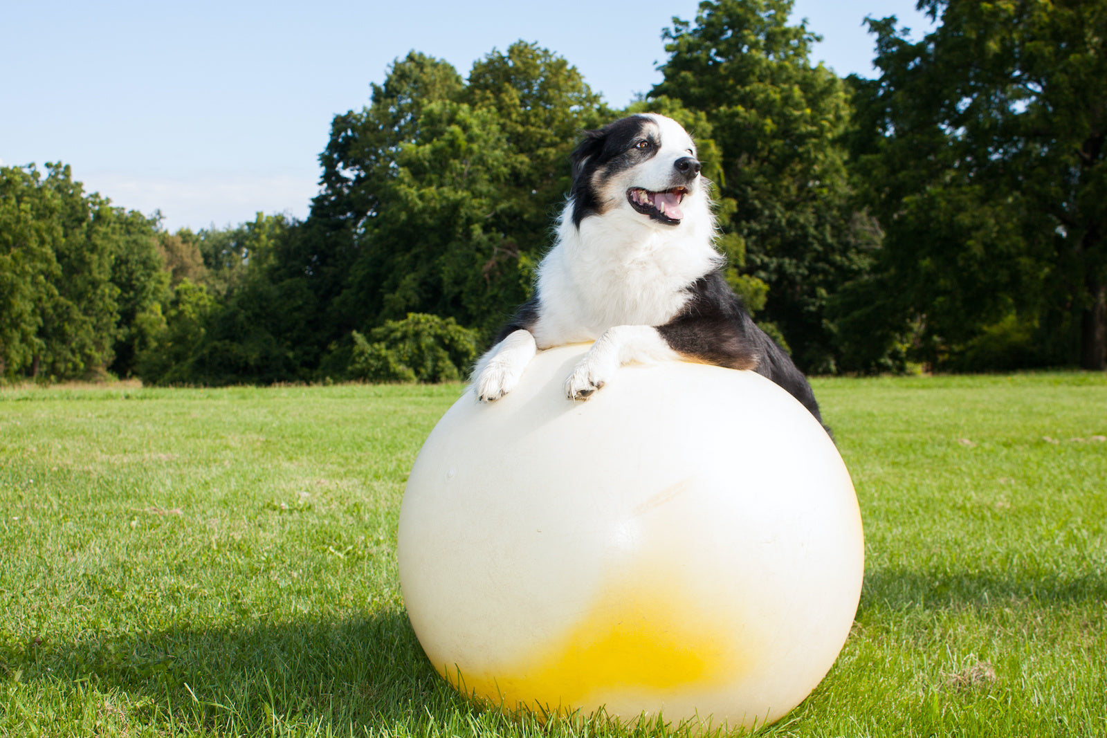 How to help a dog with arthritis at home: A dog balances on a pilates ball
