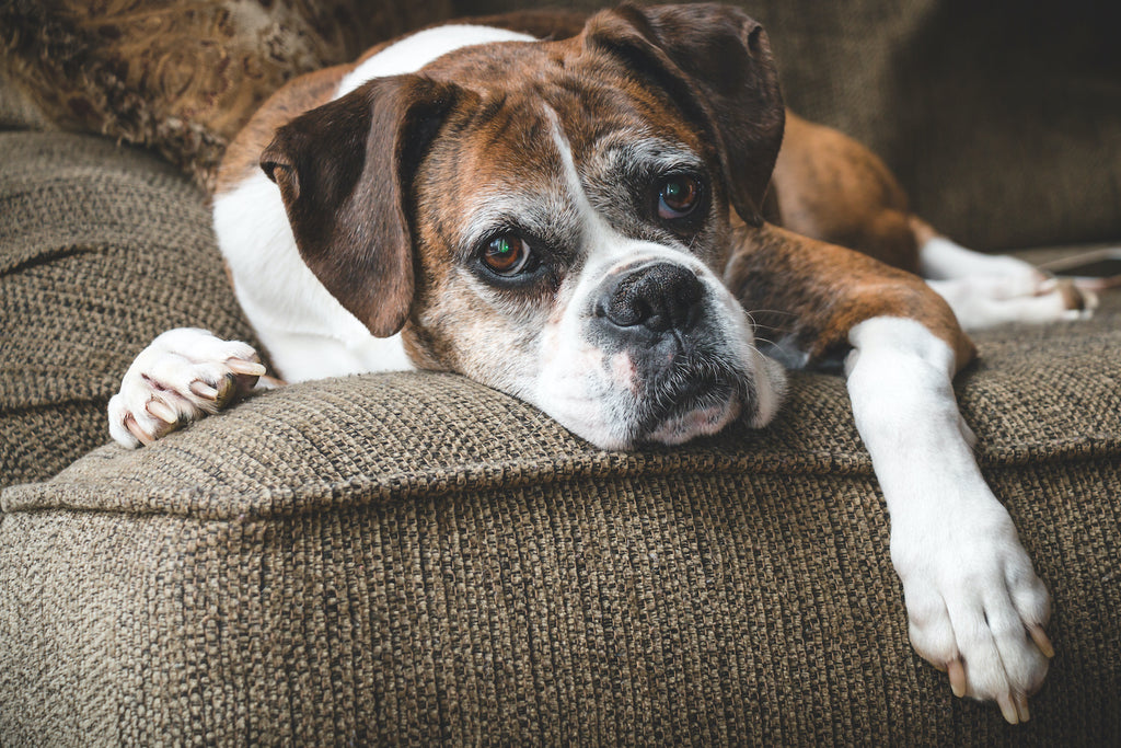 Natural anti-inflammatory for dogs: The graying face of an elderly boxer