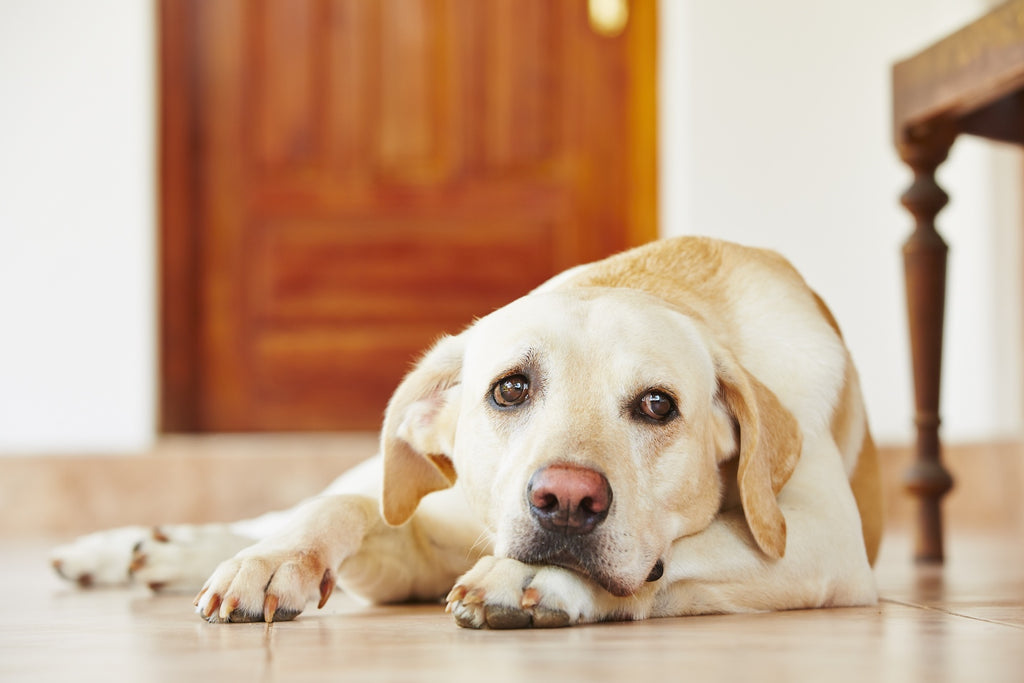Xanax for dogs: A dog laying on the floor