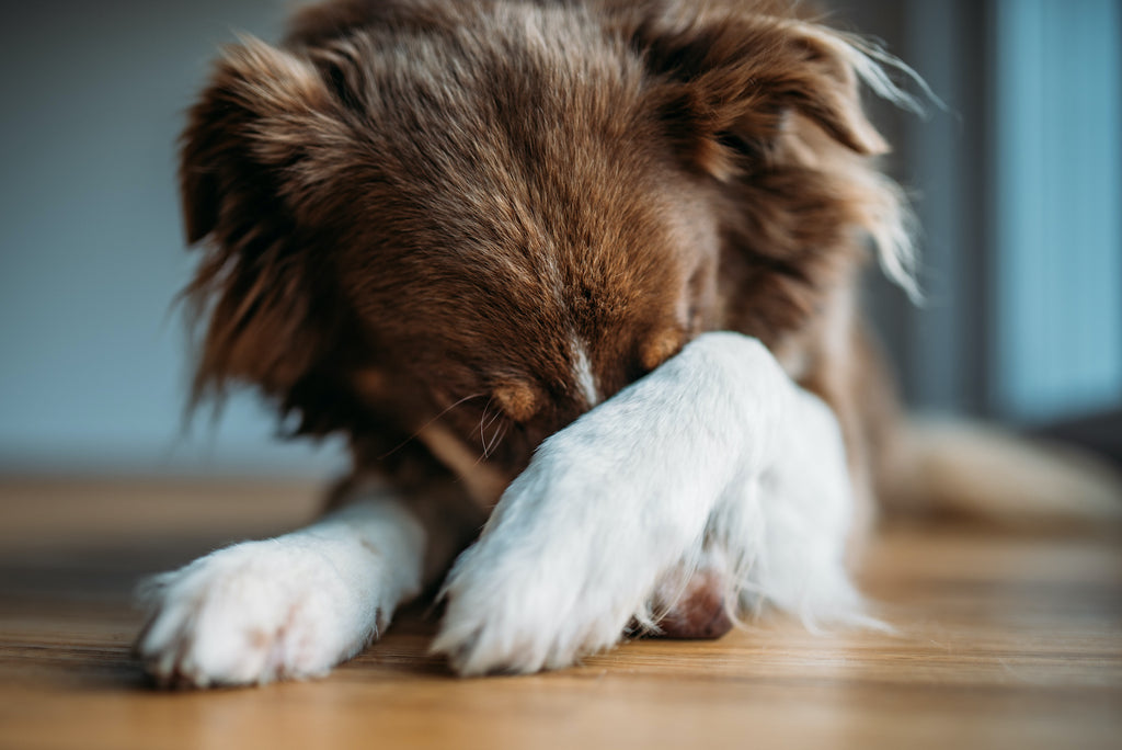 Xanax for Dogs: A dog covers his face with his paw