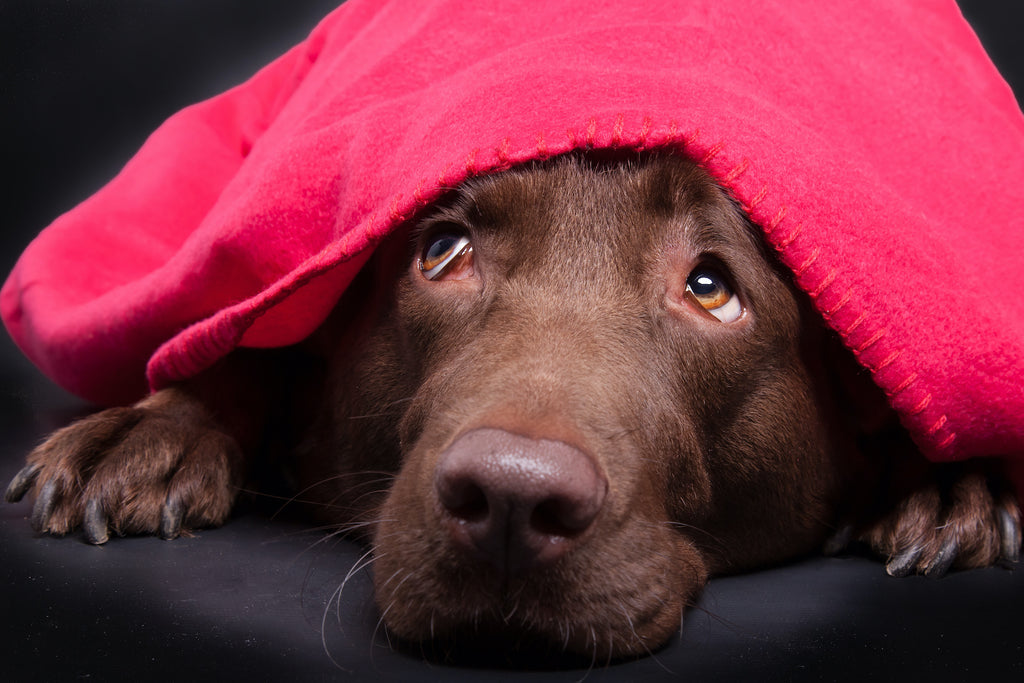 Anxiety in dogs: A dog hides under a blanket
