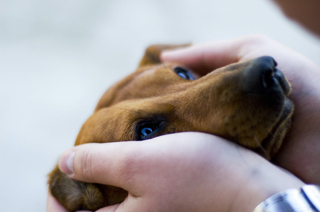 A person holds a dog's face in his hands