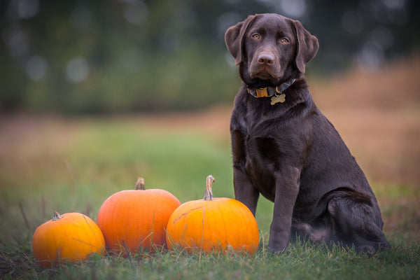 Dog next to pumpkins