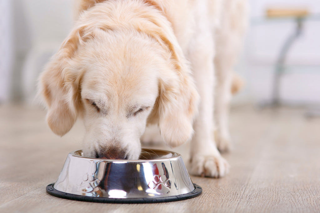 The best dog food for skin allergies: A golden retriever eats out of a bowl