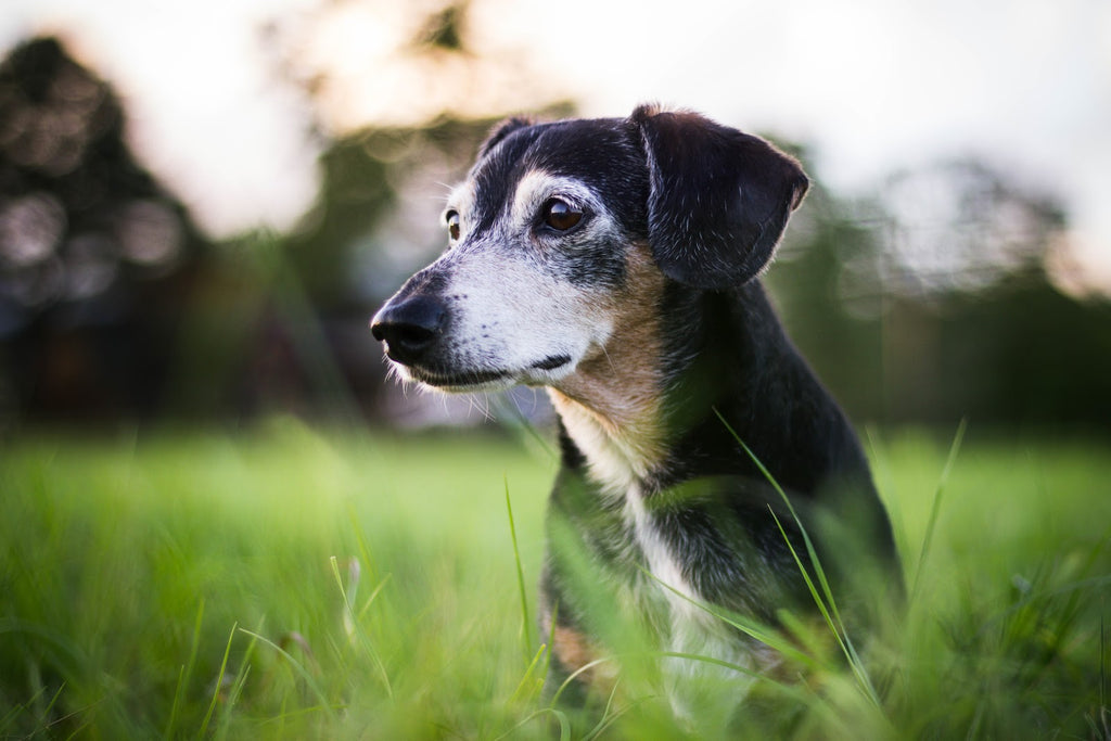 Mange in dogs: Dachshund in a field