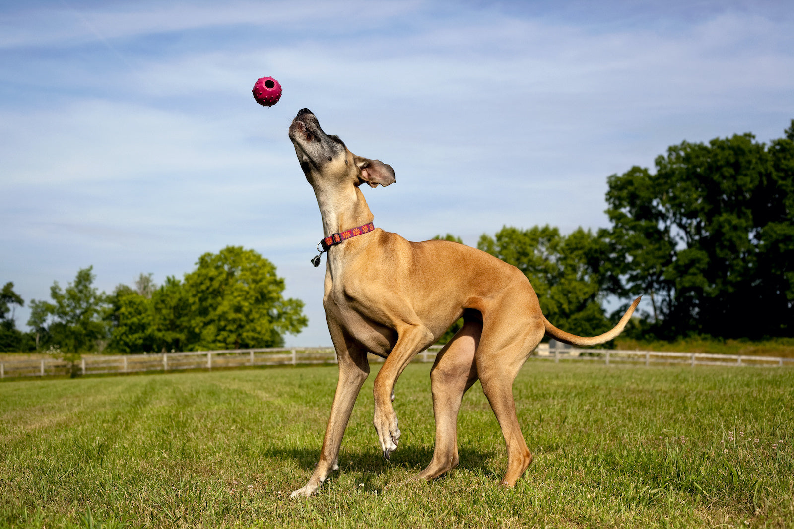 Dog has bad gas suddenly: A Great Dane catching a ball