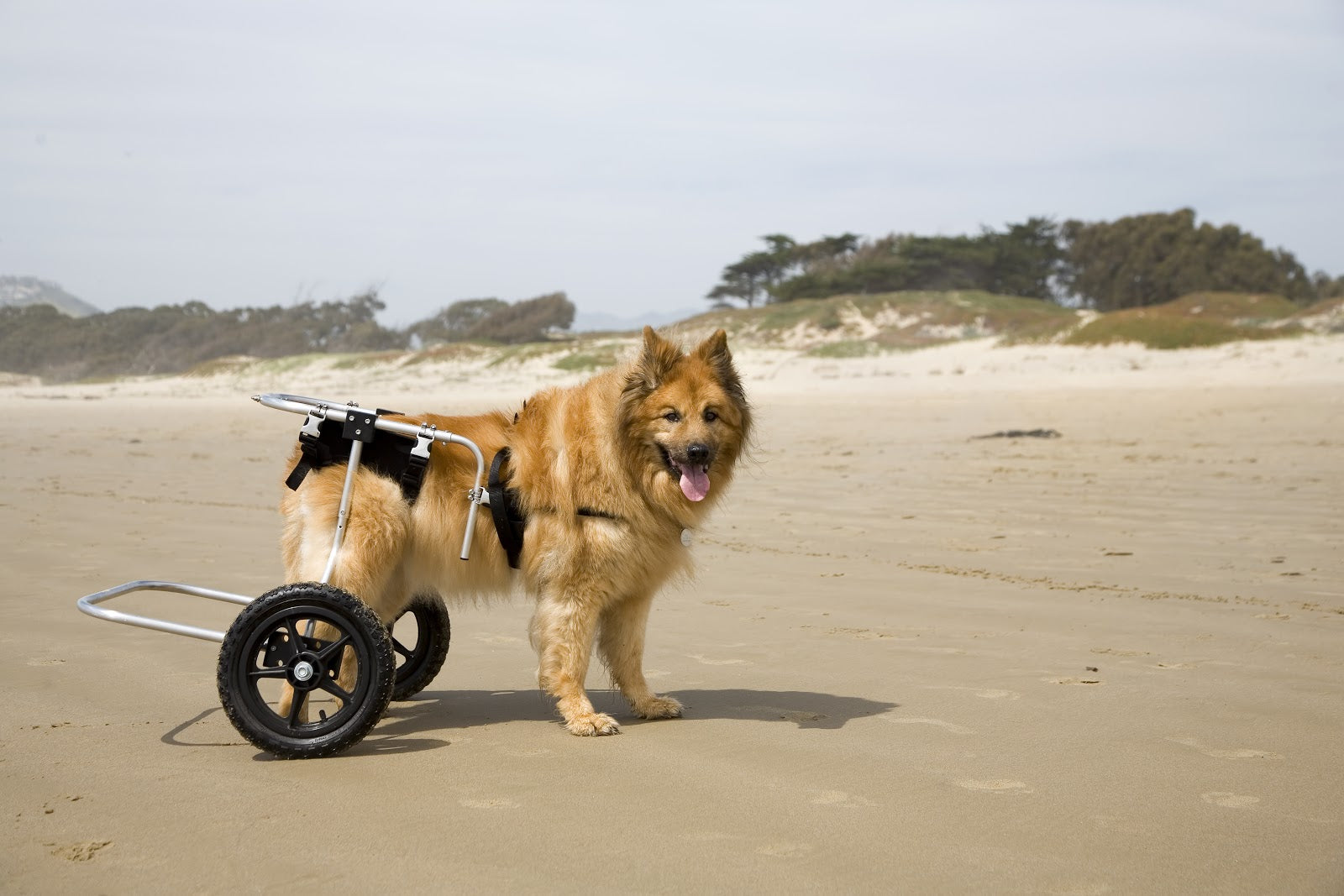Hip displaysia in dogs sometimes leads to needing a wheelchair