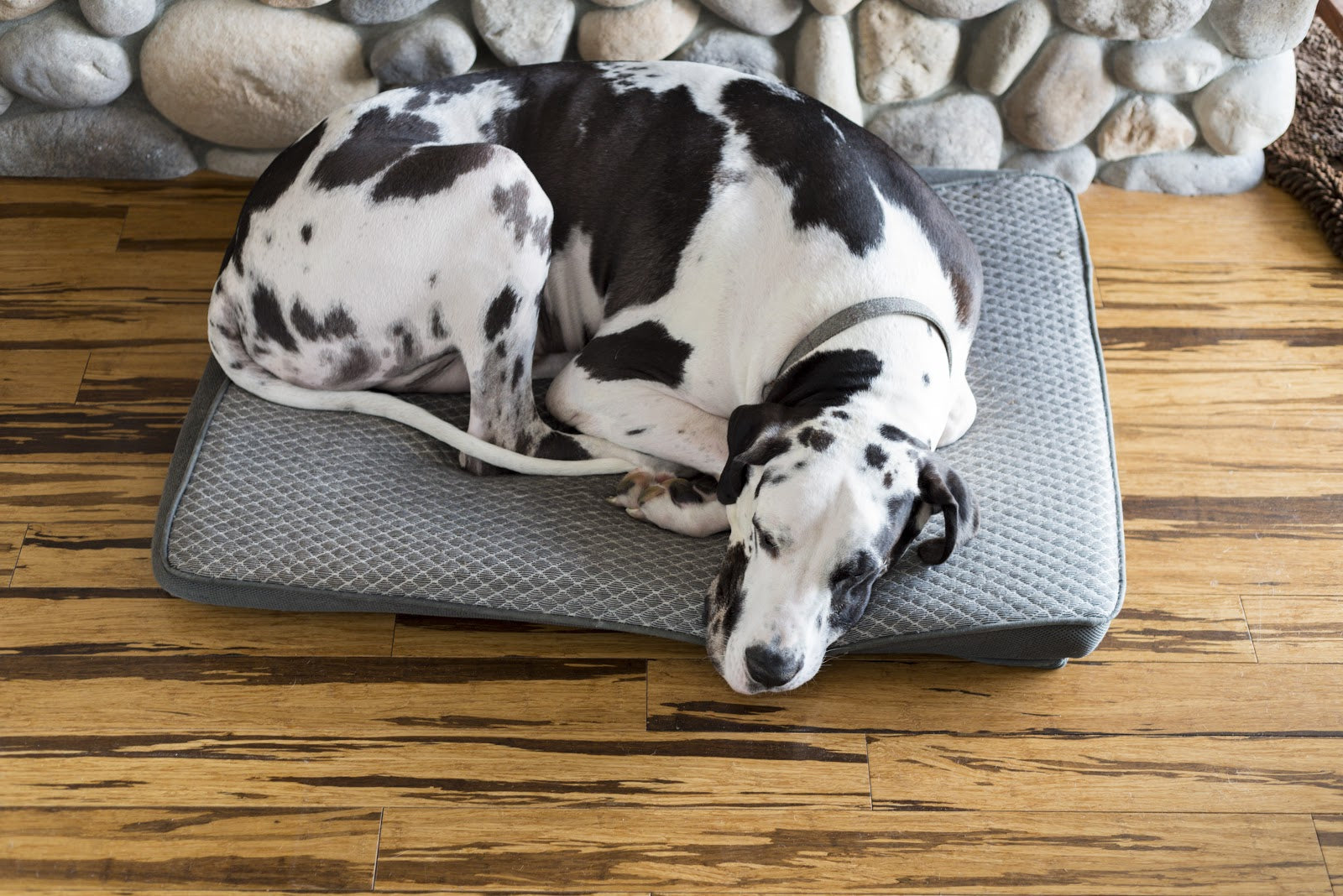 Hip Dysplasia in Dogs: Large dog resting on bed