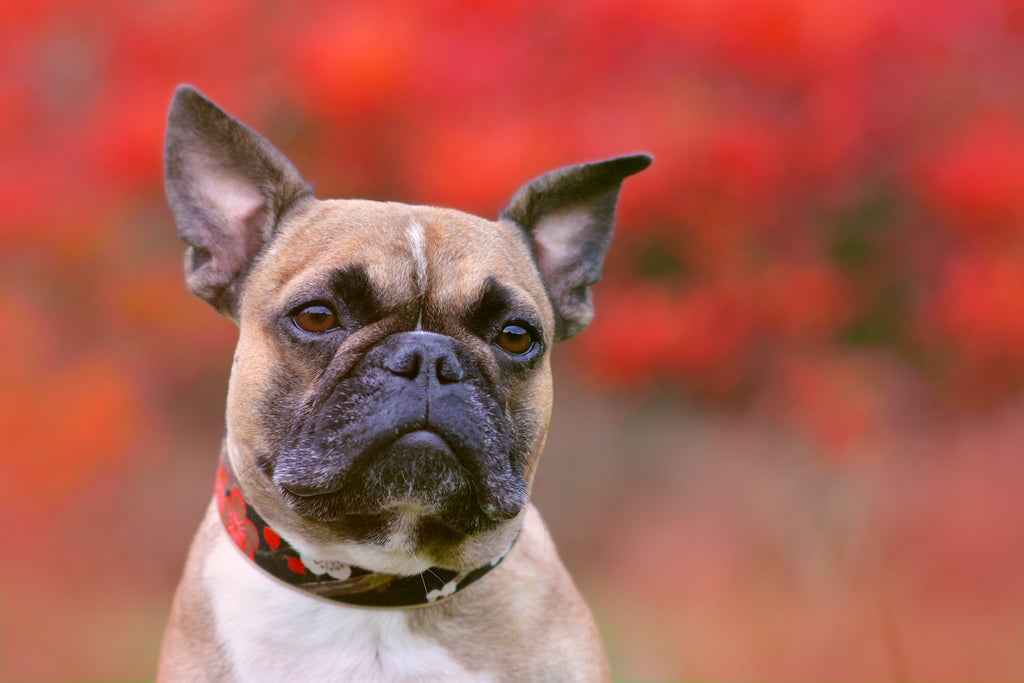 Dog rash: a French bulldog