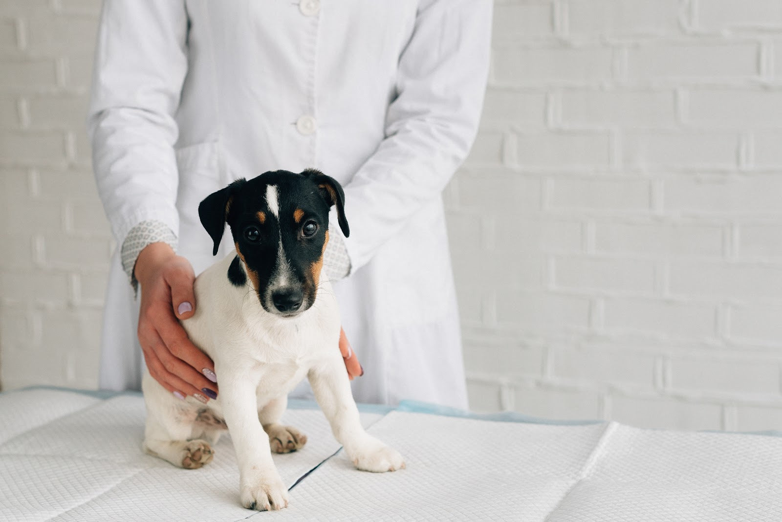 Hip Dysplasia in Dogs: Jack Russell terrier at vet