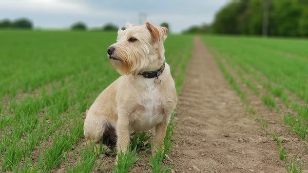 Dog in a field