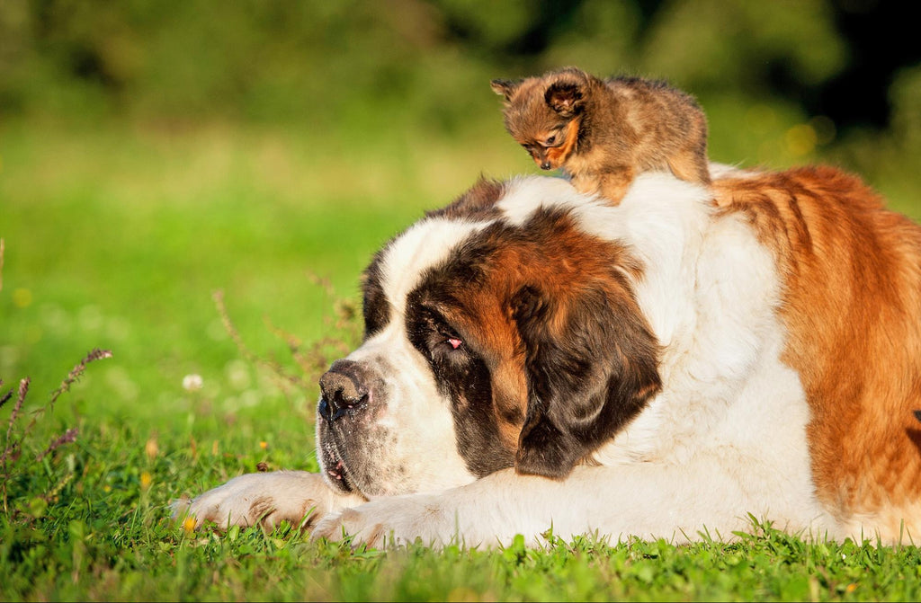 puppy on top of a giant dog