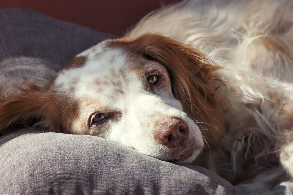 Old dog incontinence: Beautiful white and brown dog
