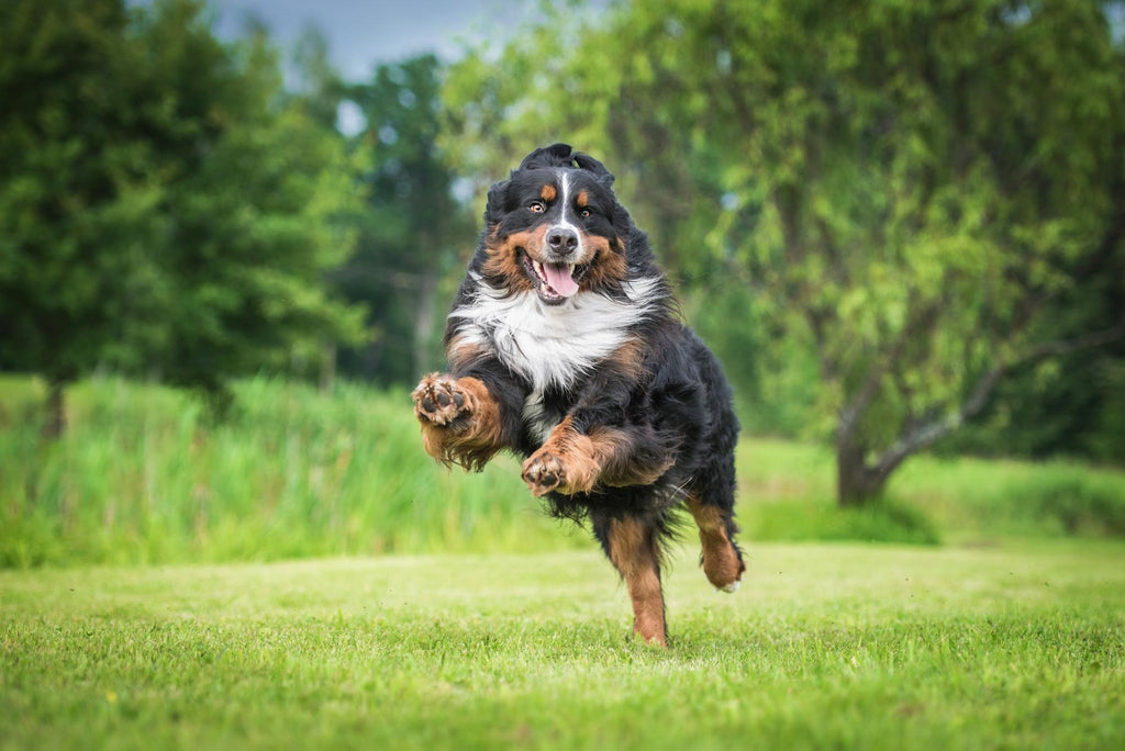 is fish oil good for dogs: jumping dog