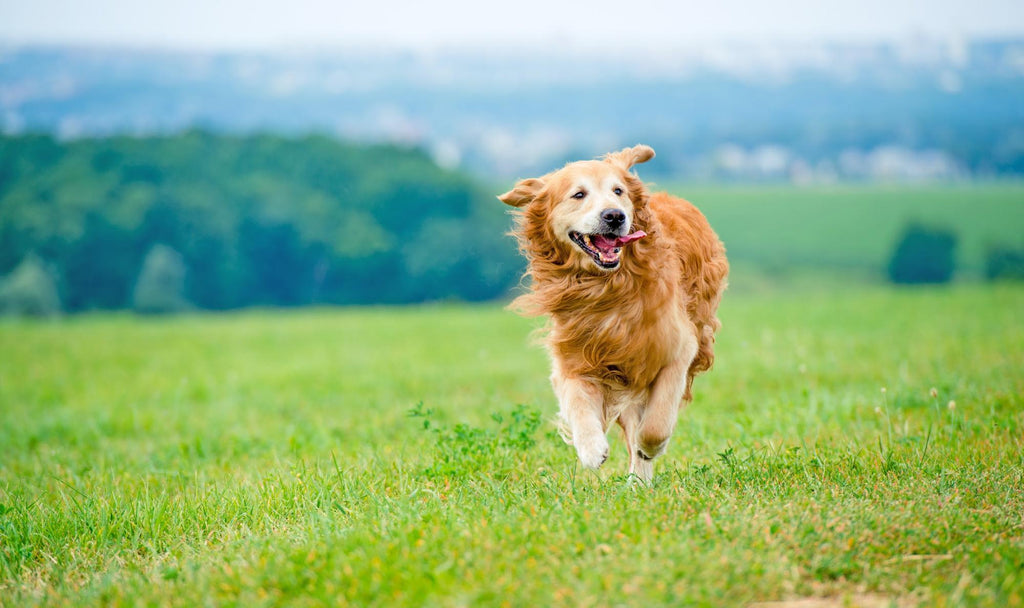 Omega 3 for Dogs: Dog running and having fun