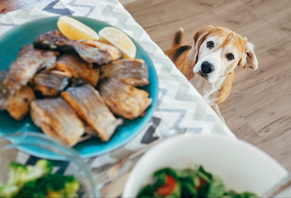 Fish oil for dogs: Cute dog looking at food