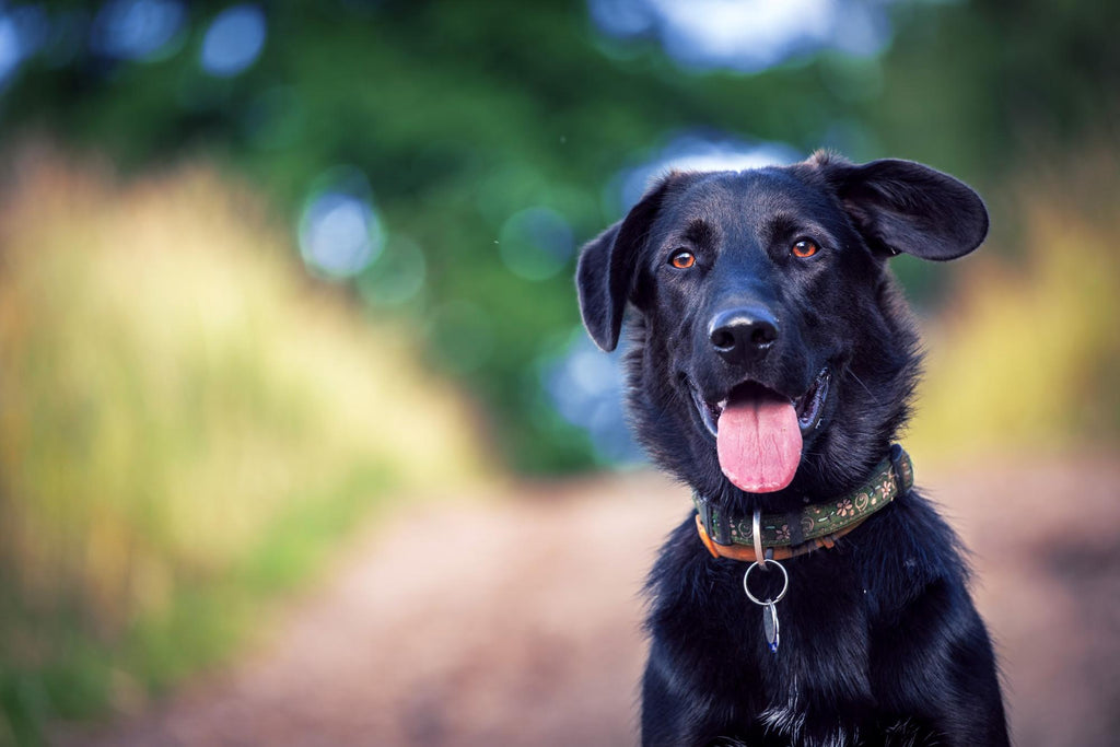 Omega 3 for Dogs: Gorgeous black furry dog