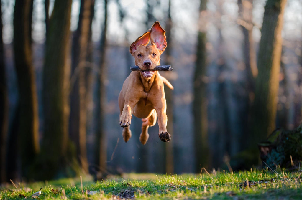 Fish oil for dogs: Awesome dog flying on air